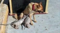 Pies zaadoptował trzy tygrysy