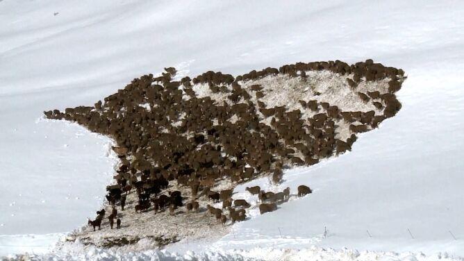 Tysiące owiec uwięzionych na przełęczy zasypanej śniegiem