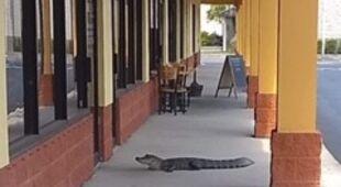 Do salonu fryzjerskiego zawędrował aligator