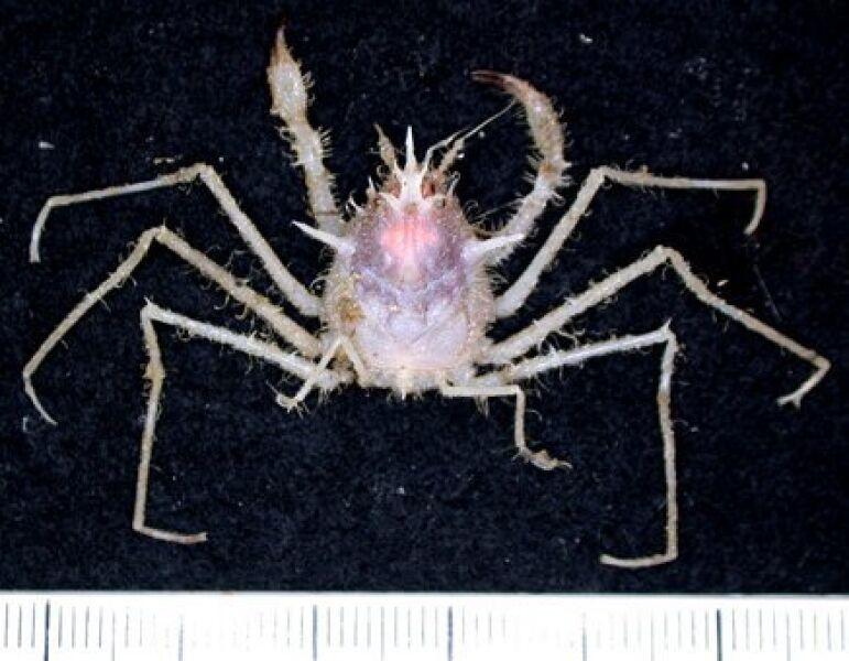 Krab piaskowy odkryty u wybrzeży Tasmanii (CSIRO)